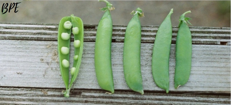 peas-images